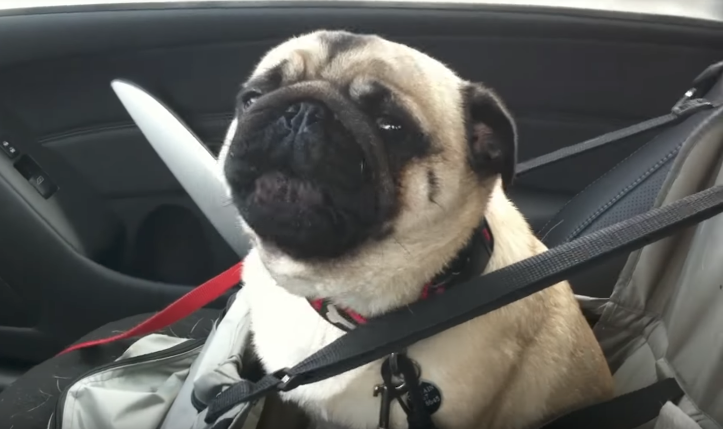 pug petsmart pug loses his mind when he finds out he s going to 2734