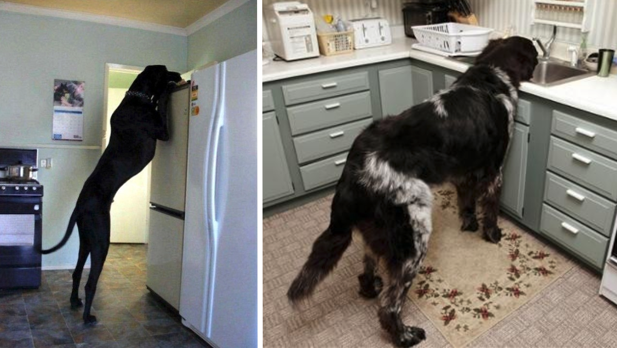15 Dogs Who D Need No Help Reaching The Secret Treat