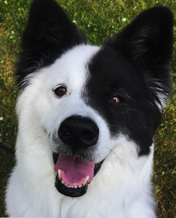 A Border Collie Samoyed Mix Who Loves To Smile Pawmygosh