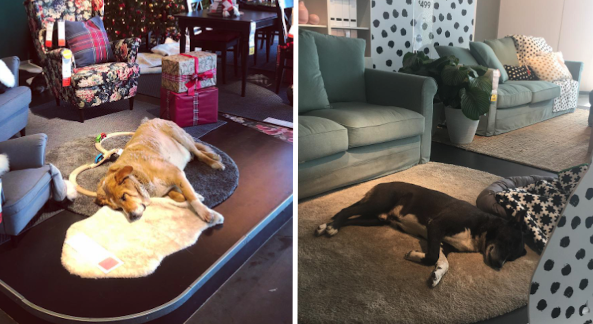 IKEA Store Opens Its Doors To Homeless Dogs To Get Them Out Of The Cold