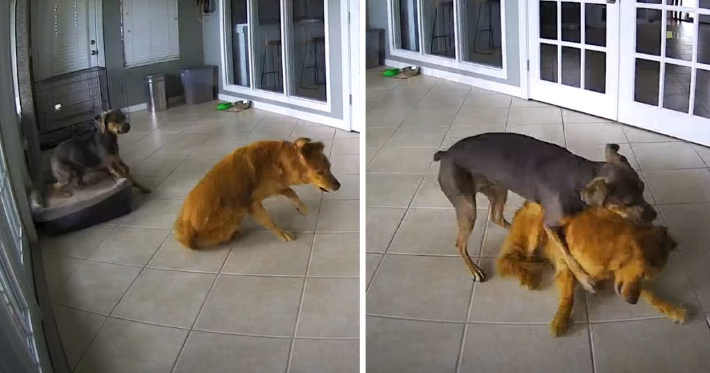 Golden Retriever Has A Seizure, But His Friend Tackles Him To The Ground –  PawMyGosh